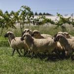 McVitty Grove & Tractorless Vineyard